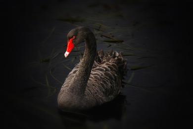 black-swan-122983_960_720